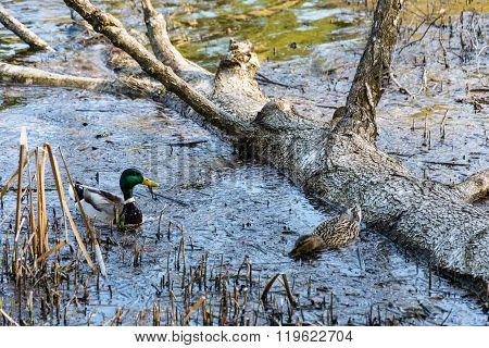 Two Ducks Floating In A Submerged Tree.