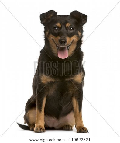 Crossbreed puppy looking at the camera and sticking the tongue out, isolated on white (3 years old)