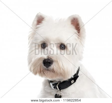 Close up of a West Highland White Terrier with a collar looking away, isolated on white (1 year old)