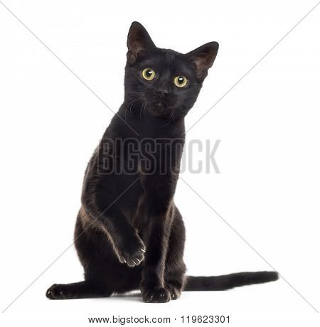 Black cat kitten looking at the camera with a paw up, isolated on white