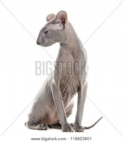 Profile of a Peterbald sitting and looking away, isolated on white