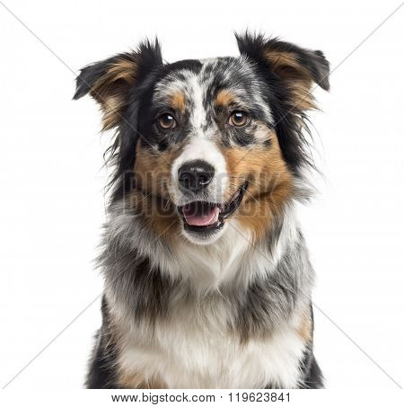Close up of an Australian Shepherd looking at the camera, isolated on white (1 year old)