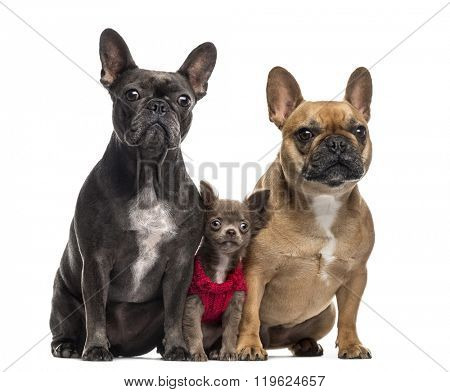 Chihuahua puppy (3 months old) and two French Bulldog (4 and 2 years old) sitting and looking at the camera, isolated on white