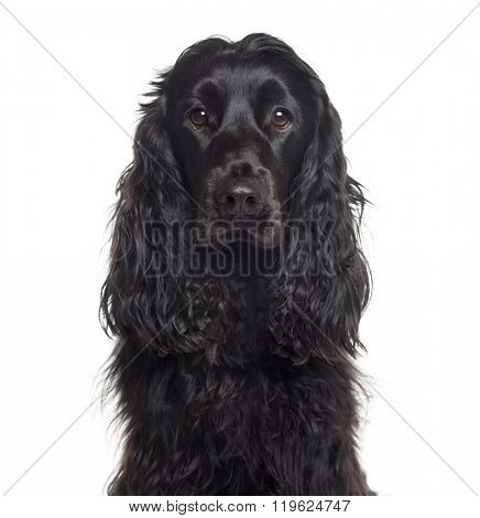 Close up of an English Cocker Spaniel looking at the camera, isolated on white (1 year old)