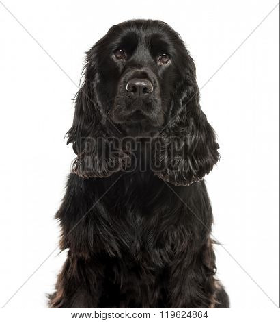 Close-up of a English Cocker spaniel in front of a white background