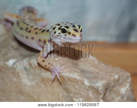 Little Leopard Gecko On A Stone. Close Up