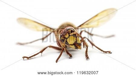 Front view of an Hornet, isolated on white