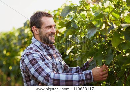 Winemaker In The Vineyard Inspects Vine Leaves
