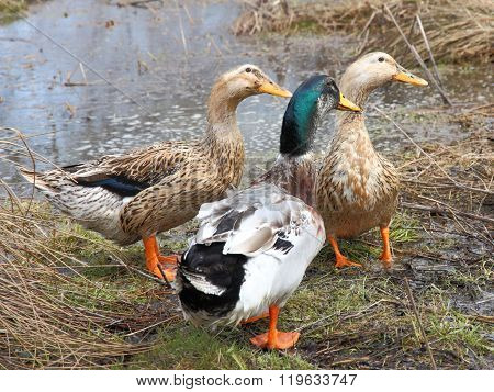 Three beautiful ducks on the lake