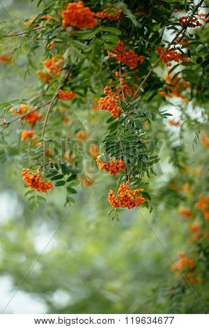 Bunches Of Rowan On A Green Background