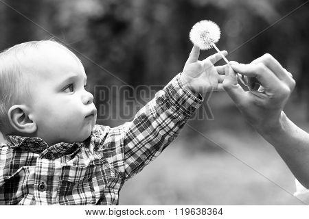Little Boy Takes White Dandelion