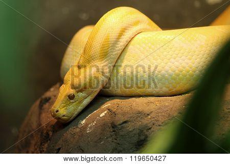 Golden Thai Python