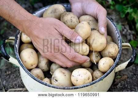 Harvest Of Organically Grown New Potatoes