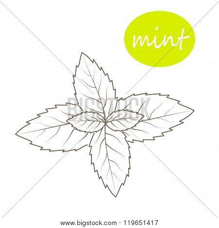 Vector Mint Leaves On A White Background