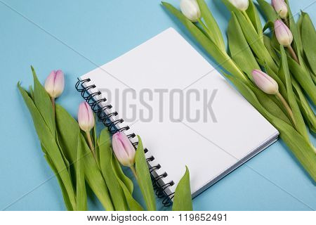 Pink  and white Tulips on blue background
