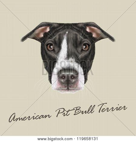 American Pit Bull Terrier Portrait.
