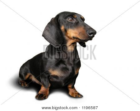 Black And Brown Dog (Dachshund) On