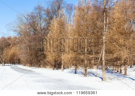 Frozen Footpath Along Bare Larch Trees In Winter