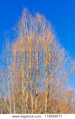Yellow Bare Alder Trees And Blue Sky