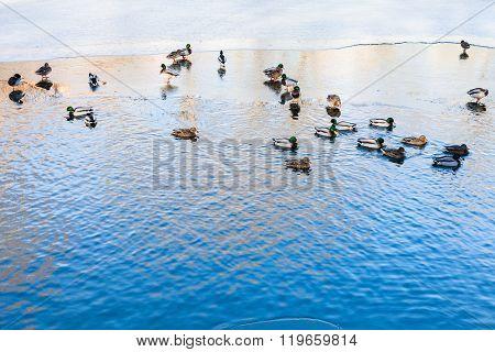 Ducks Float In Clearing Of Frozen River In Winter