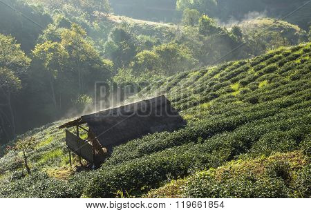 Steam on the barrack in tea field