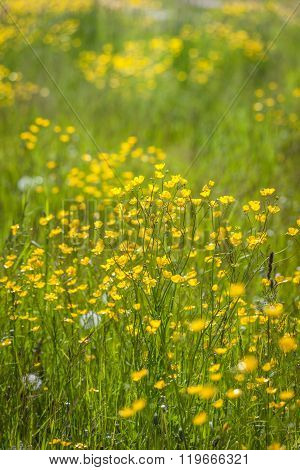 Meadow With Yellow Buttercups