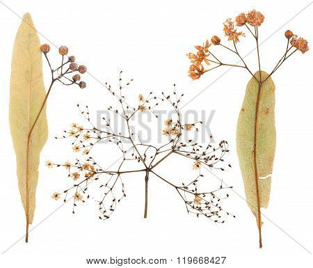 Plant Inflorescence Isolated