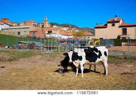 Royuela village cows grazing Sierra de Albarracin in Teruel Spain