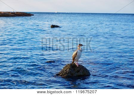 cormorant bird in Mediterranean Denia standing at rock in Alicante Spain