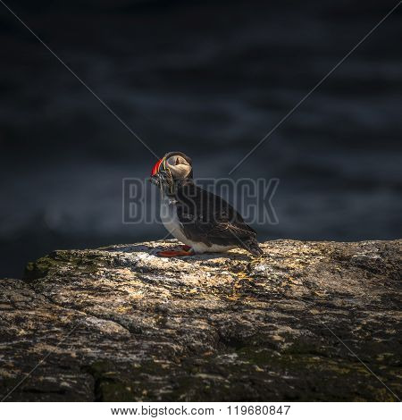 Icelandic Puffins At Remote Islands On Iceland, Summer Time, 2015