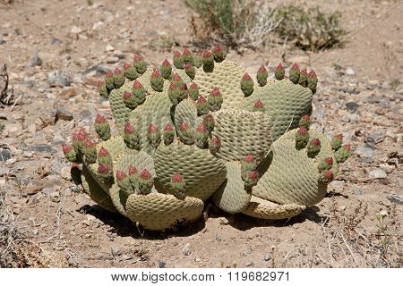Beavertail Cactus Buds