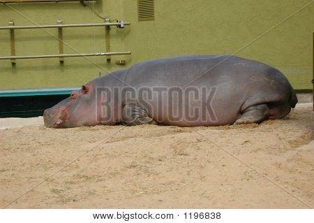 Tired Hippopotamus