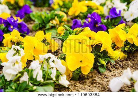 Macro Closeup Of Pansies Flowers. Nature Detail.