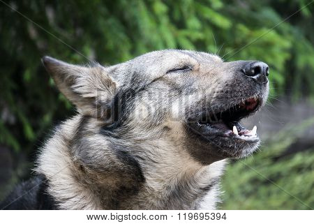 Dog Howls Of Grief In The Yard
