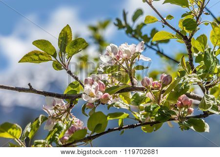Apple Blossoms In South Tyrol