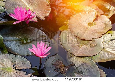 Lotus Blossom Blooming On Pond