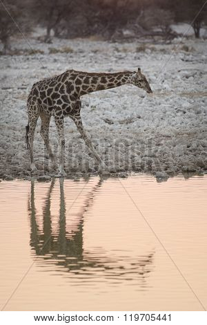 Giraffe reflections at a waterhole in Namibia