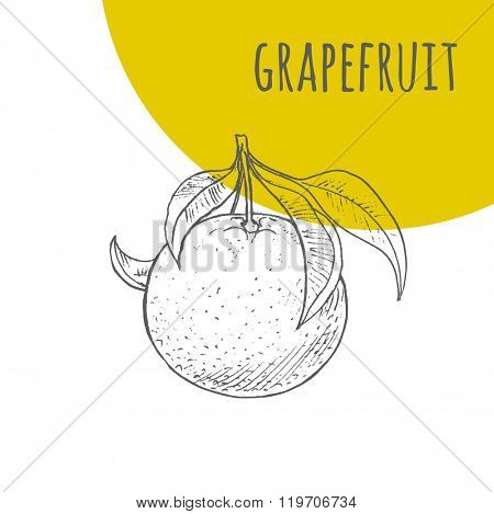 Grapefruit vector freehand pencil drawn sketch. Illustration of grapefruit on branch with leaves. Part of set of fruits sketchy drawings.