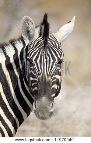 portrait of a zebra in Etosha National Park