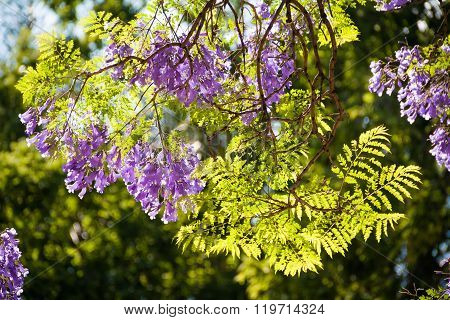 Sunlight filtering through Jacaranda leaves and flowers