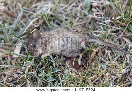Dead Wild Mouse