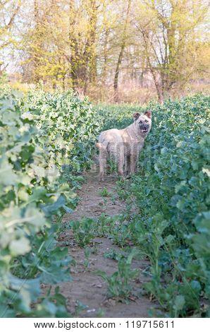 Shepherdess Dog