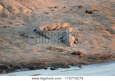Crocodiles basking in the afternoon light at a water hole.