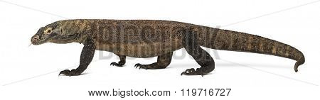 Komodo Dragon walking and sticking the tongue out, isolated on white (4 years old)