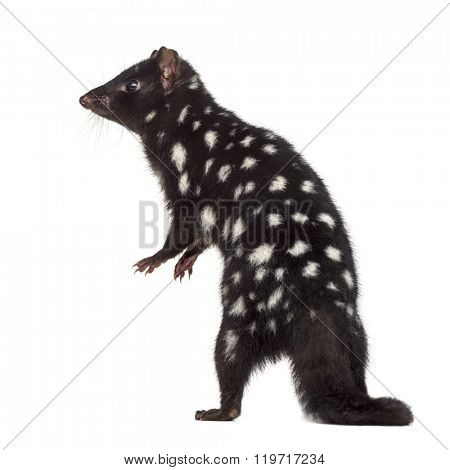 back view of a Quoll on his hind legs, isolated on white (3 years old)