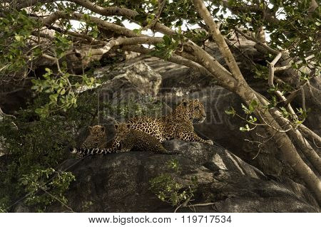 Mother Leopard with two cubs in Tanzania, Serengeti National Park