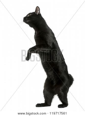 Black cat playing on his hind legs, isolated on white