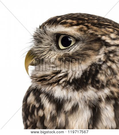 Close-up of a Little owl (Athene noctua)  in front of a white background