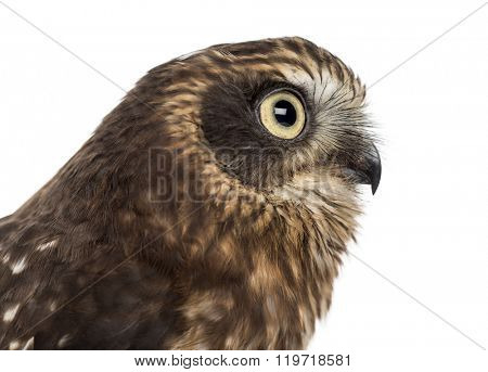 Close-up of Southern boobook (Ninox boobook) in front of a white background