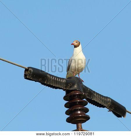Black Headed Gull On Electric Pillar